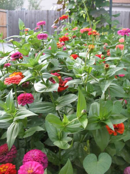 'Cut and Come Again' Zinnias